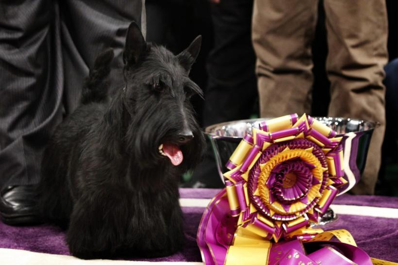 2010 Best in Show: Scottish Terrier