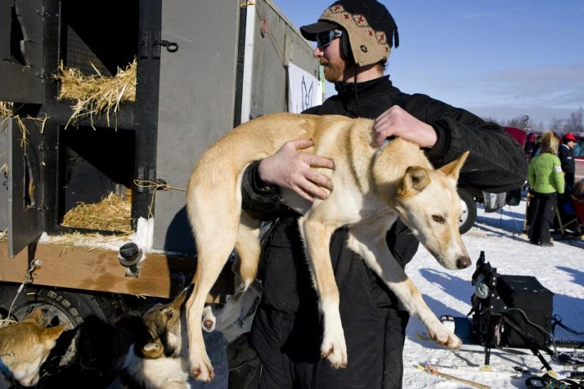 Home town favorite Savidis removes Josephine from her kennel to prepare her for the official re-start of the 40th Iditarod Trail Sled Dog Race in Willow