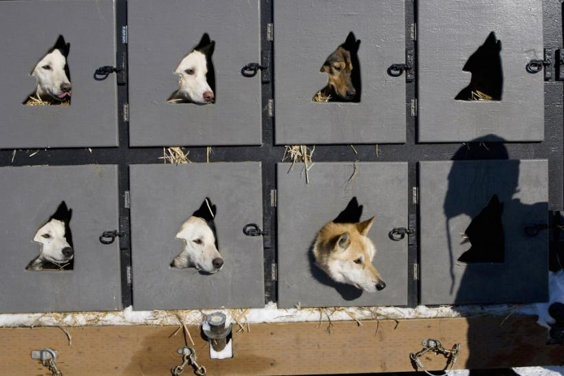 The dog team of Savidis of Willow look on as their owner approaches just before the official re-start of the 40th Iditarod Trail Sled Dog Race in Willow