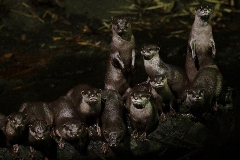 World's Smallest Otters