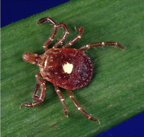 the lone star tick