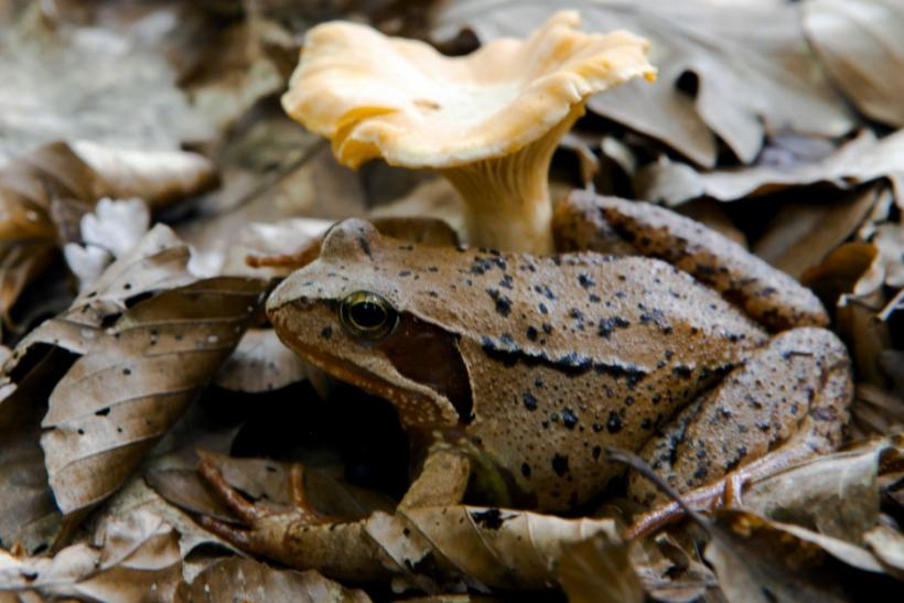 A wood frog rests beside a chanterelle mushroom in the forest at Medvednica mountain overlooking Zagreb