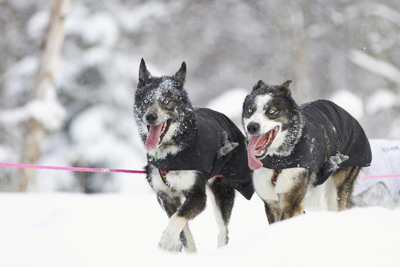 Two sled dogs belonging to Norweigan competitor Silvia Furtwangler at the 40th Iditarod