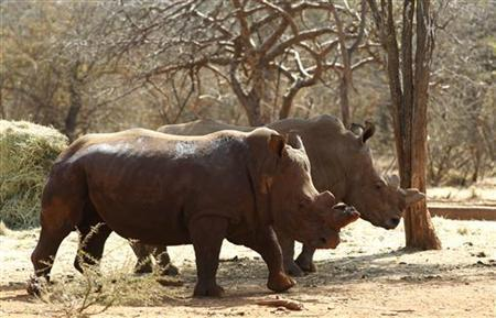 Rhinos In Limpopo Park, Mozambique