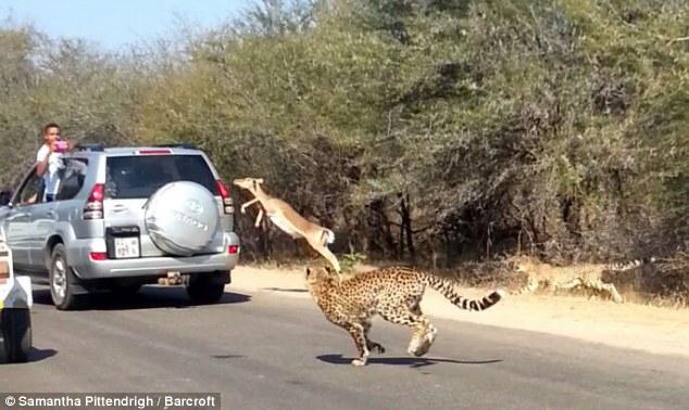 cheetah-chases-impala-antelope-tourists-car-safari.jpg?itok=JX1sdlQH