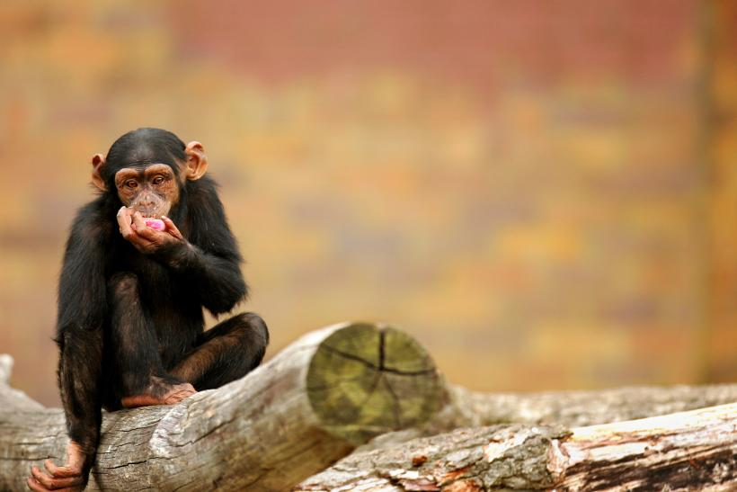 Chimpanzees Orangutans Remember Past Events