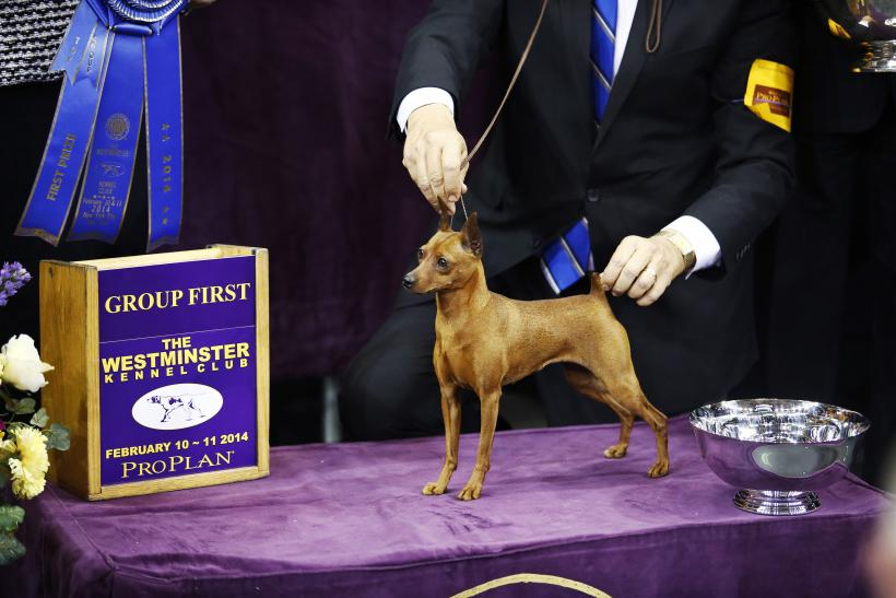 A Bloodhound Named Nathan Westminster Dog Show 2...