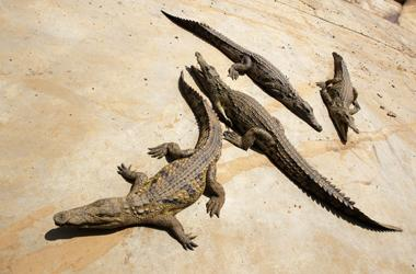 Crocodiles Climb Trees To get Sun And Hunt Their Prey