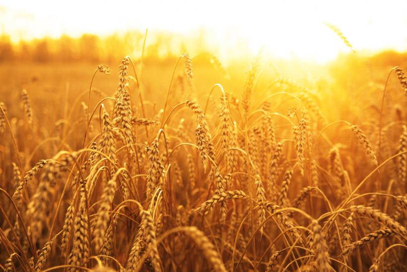 Wheat by Shutterstock