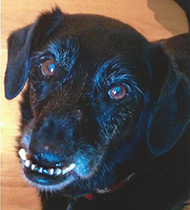Shorty  - World's Ugliest Dog Contest 2014 Contestant