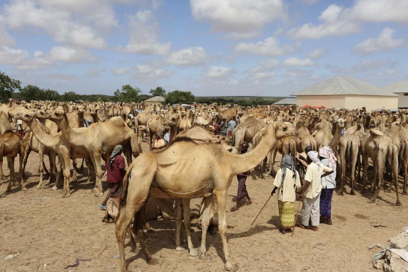 Somali traders and their camels wait at the open air export market, on the outskirts of Somalia's capital Mogadishu in this June 7, 2014 file photo.