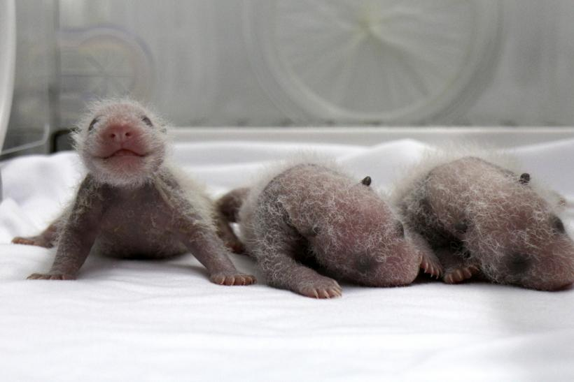 Newly born panda triplets in China