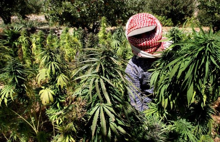 Record Crop For Lebanese Marijuana Farmers As Syria Conflict Rages
