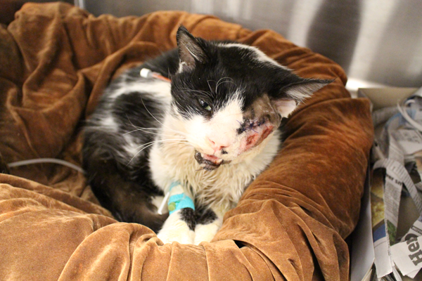 'Miracle' Cat Bart Receives Transfusion From Another Feline After Car Accident